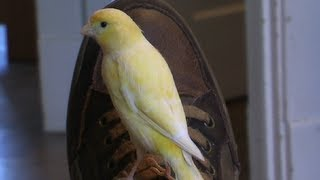 Canary Flying around the house - Super  Hand Tame -