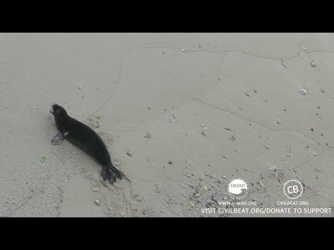 Hawaiian Monk Seal Pup Cam Day 14 Part 3 Kaimana Beach