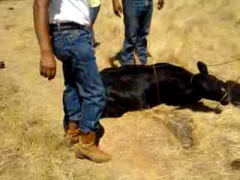 Jenny bull ride