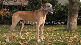 Dcm In Great Danes