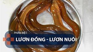 Phân biệt lươn đồng lươn nuôi | VTC1