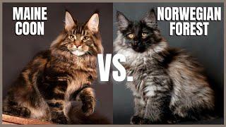 Maine Coon Cat VS. Norwegian Forest Cat