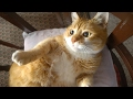 Munchkin Cat – Purrfect Cat Breed の動画、YouTube動画。