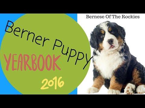 Bernese Mountain Dog Puppies Newborn to Week 8