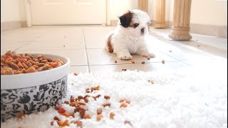 Baby Shih Tzu Playtime | TOO CUTE