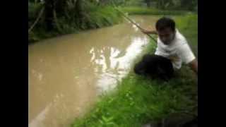 Mancing Ikan lele besar