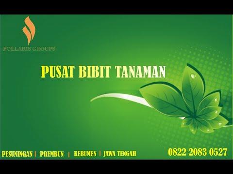 Bibit Kelengkeng Pingpong Jogja, 0822.2083.0527 (Tsel)