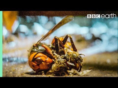 Bees Kill A Giant Hornet With Heat | Buddha Bees and The Giant Hornet Queen | BBC Earth
