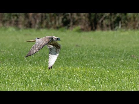 First British Falcon Races at Vowley - Extended Highlights 2019