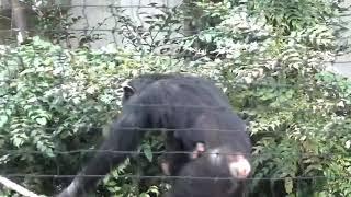 東山動植物園 チンパンジー双子の赤ちゃん.