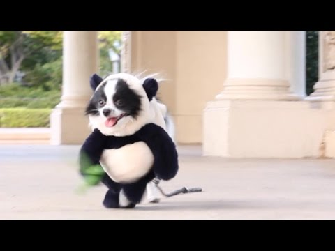 Funny Panda Puppy Halloween Costume Original Video (Seen ...