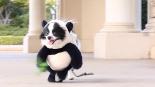 Funny Panda Puppy Halloween Costume Original Video(Seen on Facebook -Crazimals, Unilad, Viral Thread