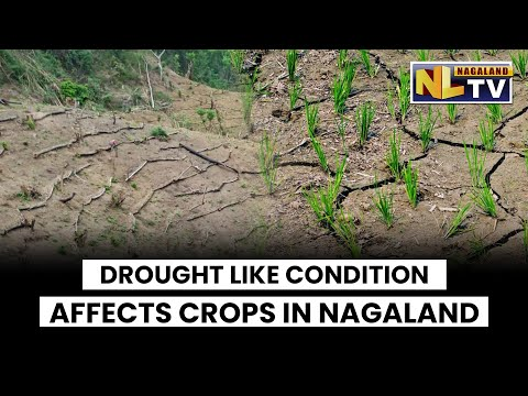 DROUGHT LIKE CONDITION AFFECTS CROPS IN NAGALAND