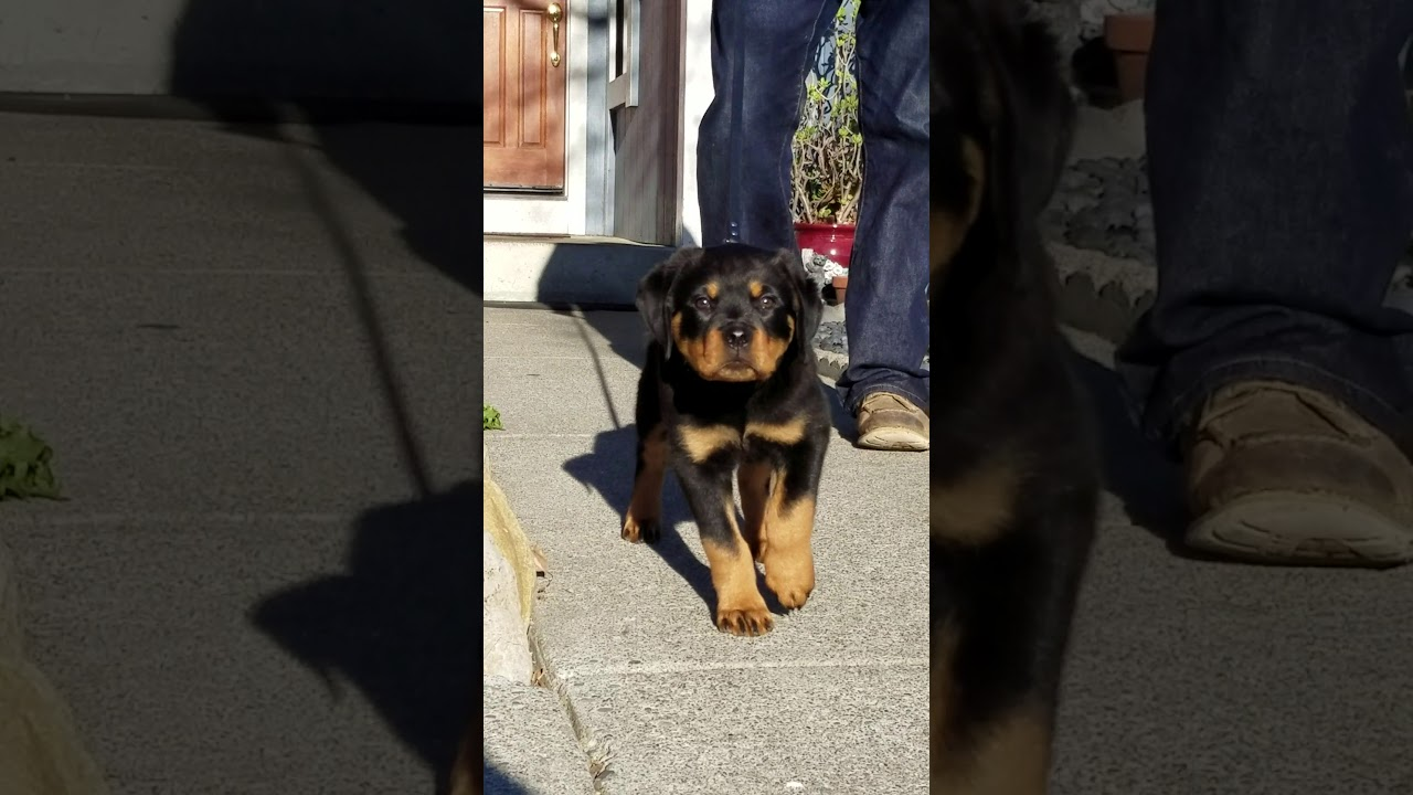 Wu Tang Rottweiler Cash 3 Months Old Youtube