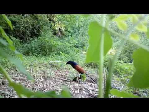 sangarnya burung bubut ini, sampe sampe patungnya hancur di patok burungnya