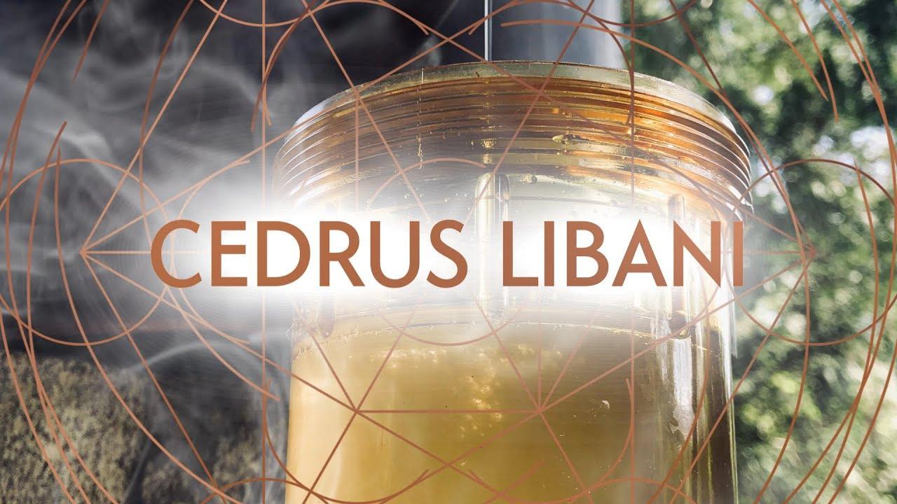 🌲 Rare Steam & Hydro Distillations of Cedrus Libani (Cedar of Lebanon)  Essential Oil 🌲