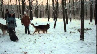 Прогулка с собаками переходящая в драку