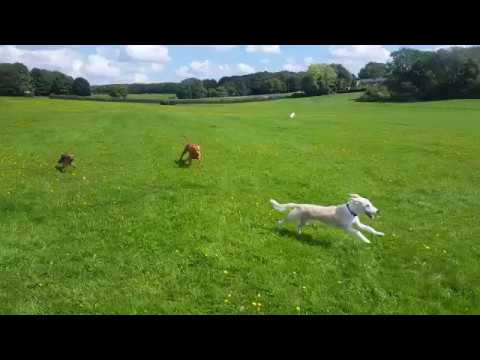 Pippa, Buddy and Brinkley Chasing - Mason & Oslo Chilling