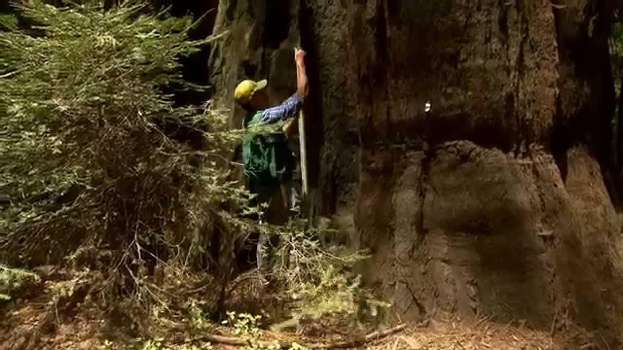 Kletterausrüstung Baum Fällen : Trailer 360° geo reportage: die baumkletterer von kalifornien