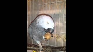 Африканский Попугай Жако Цезарь кушает орех🐦😍