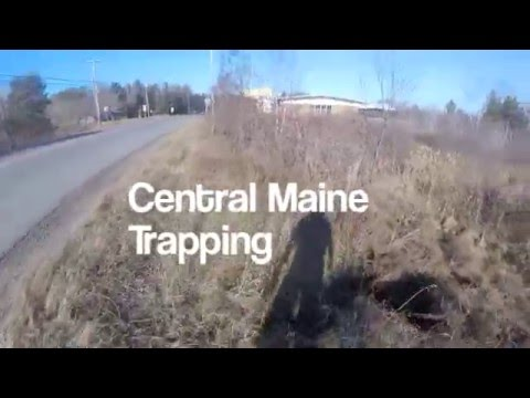 Central Maine Muskrat and Beaver Trapping (Gopro)
