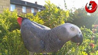 Gadajaca papuga Alfeusz -