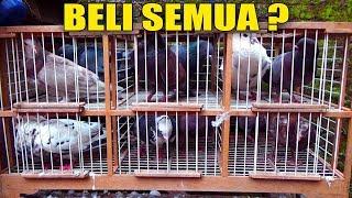 BELI MERPATI BARU MURAH MERIAH #MERPATIKU