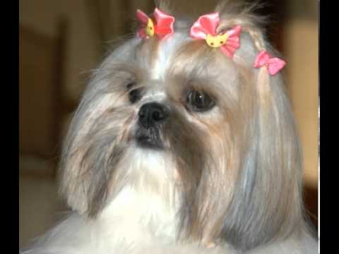 shih-tzu-facts---facts-about-shih-tzus