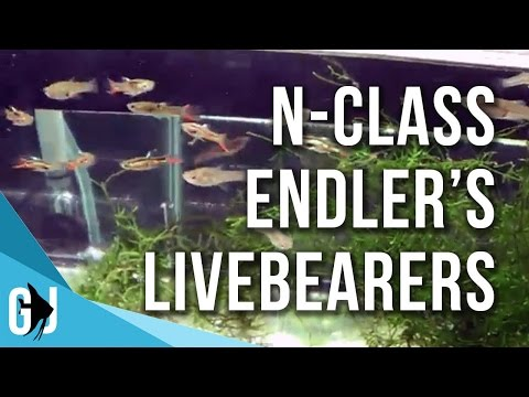 #158: Endlers Livebearers From AdrianHD - Fishroom