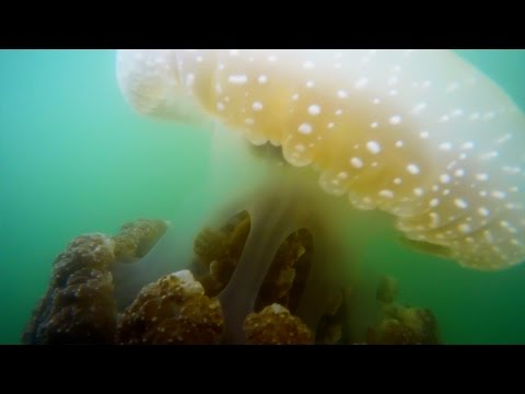 Rare Australian Spotted Jellyfish Invade San Diego Bay - GoPro Footage in 4K