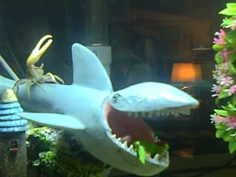 My fiddler Crab in my 55 gallon aquarium. - YouTube