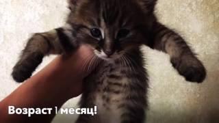 Котята Чаузи F1‼️ Сладкий сон😴 Питомник SoulCats🐾