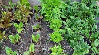 Growing Greens in Texas