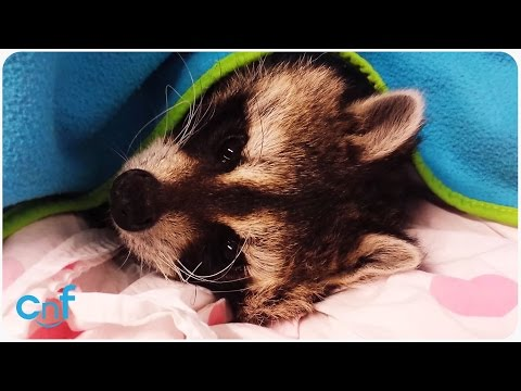 Raccoon Hates Cold Weather | Missing Beauty Sleep