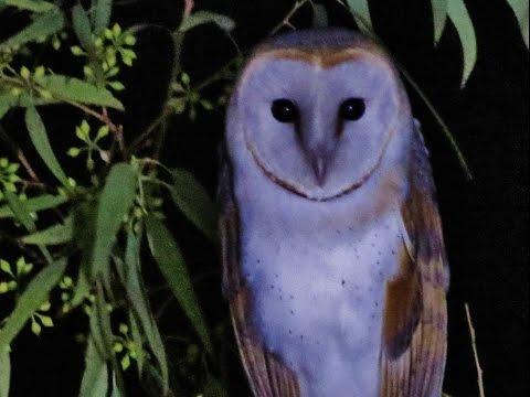 Barn owl (Tyto alba) Ανθρωποπούλι , Τυτώ - Cyprus