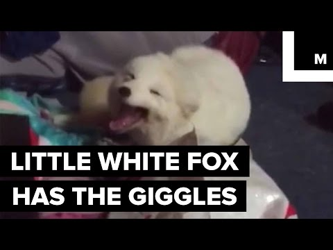 Archer the Pet Fox Has a Very Contagious Laugh