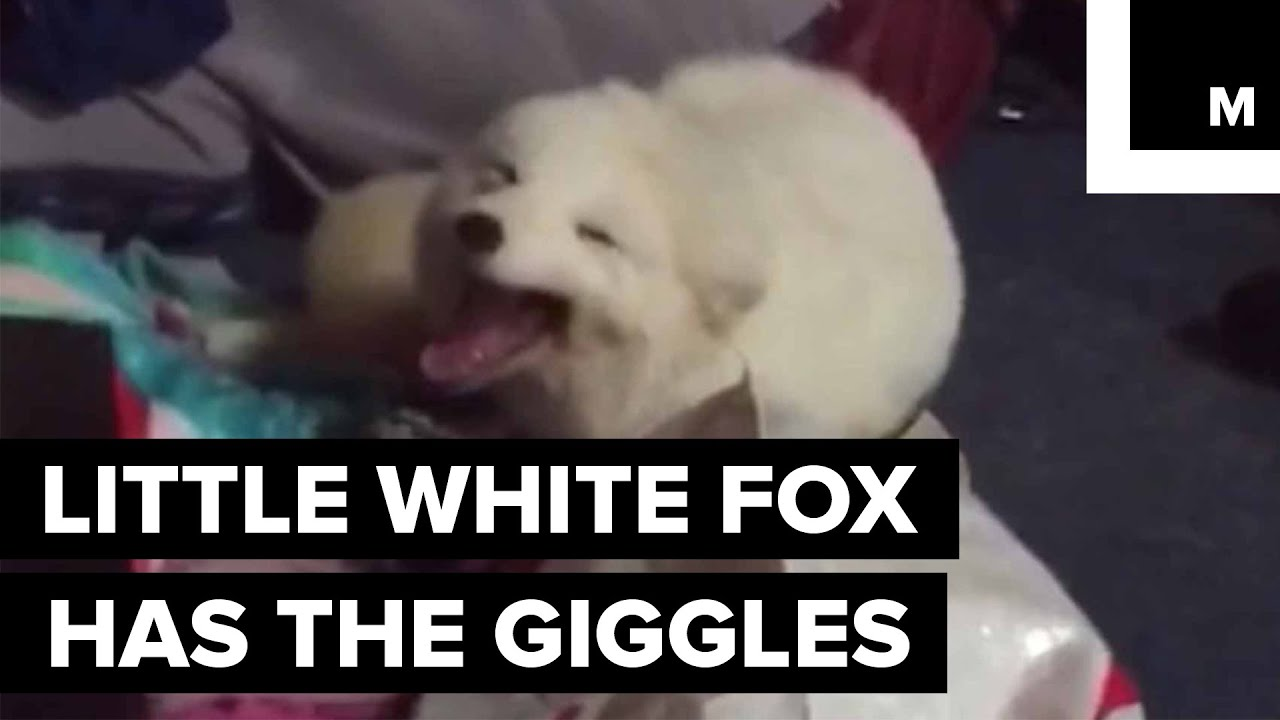 Archer the Pet Fox Has a Very Contagious Laugh - YouTube - photo#36