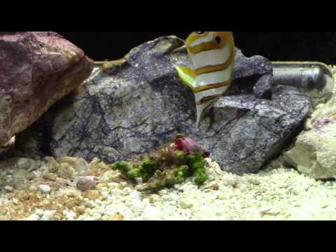 New Copper Banded Butterfly Fish
