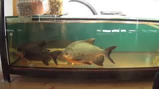 Аквариумные рыбки.Часть 77.Краснохвостый сом и ложные пираньи
