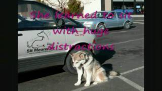 Alaskan Malamute, Dog Training Sit Means Sit Boot Camp, Truckee Area