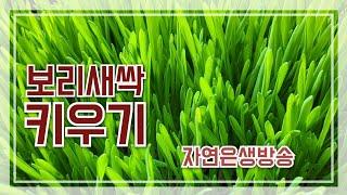 새싹보리키우기#토양재배
