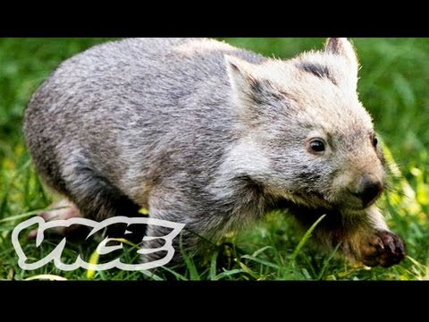 Baby Wombat Orphans! | The Cute Show