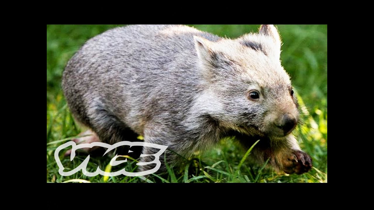 Baby Wombat Orphans! | The Cute Show - YouTube