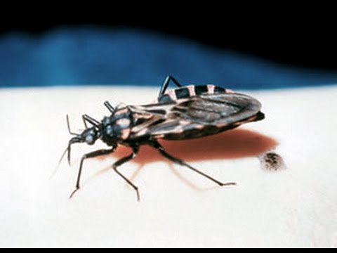 Chagas disease: An interview with Dr. Patricia Dorn