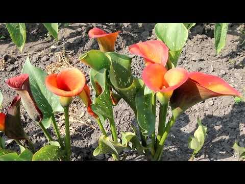 Цветение каллы в открытом грунте