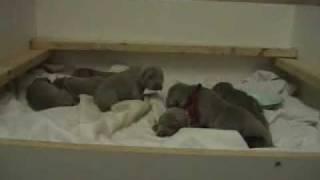 Ghost Kennels Feb 22,2009 Weimaraner Puppies