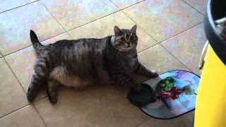 Толстый кот просит кушать