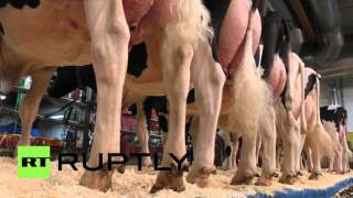 Germany: Udderly gorgeous Lady Gaga cow wins this year's Hostein show