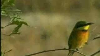 WildEarth Djuma Little Bee Eaters 7-8-07