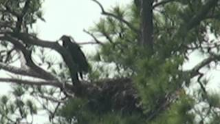 Eaglets from Blackwater NWR Wildlife Drive Nest -- One Fledged and One Branching